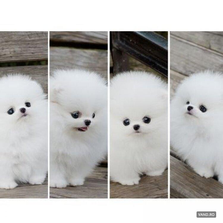 Pomeranian Boo Mini Toy